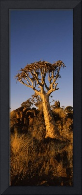 Quiver tree Aloe dichotoma at sunset Namibia