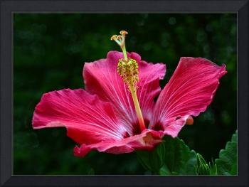 Shades of Pink Hibiscus