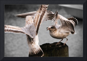 Seagulls Battle