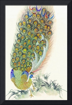 Chinese Peacock