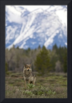 Grey Wolf, Mountains
