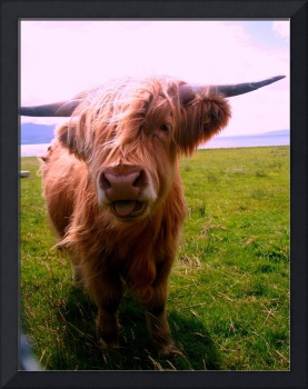 HIGHLAND COW TONGUE