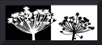 Black and white Dandelion