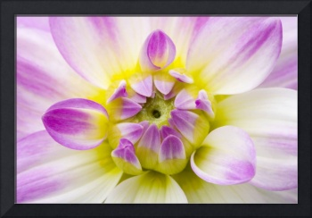 Soft Dahlia Floral Wall Art