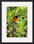 Baltimore Oriole by Rich Kaminsky