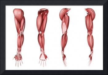 Medical illustration of human arm muscles, four si