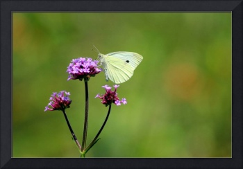Cabbage White Butterfly on Verbena 2014