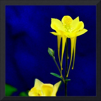 Yellow Columbine w blue wall