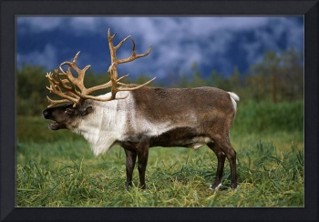 Caribou At Alaska Wildlife Conservation Center, So