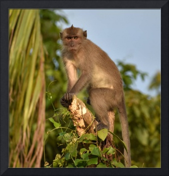 Macaque monkey standing guard in the jungle