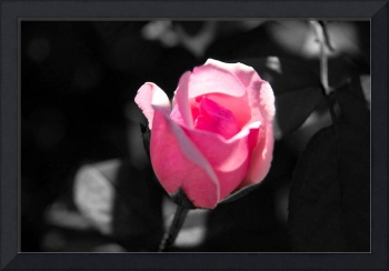 Pink Rose Bud Black and White Background