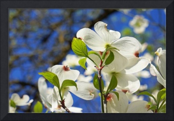 White Dogwood Flower Blossoms Art Prints Blue Sky