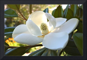 Sunlit Southern Magnolia