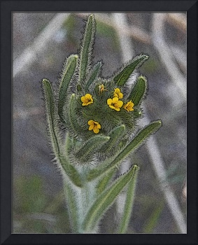 Wildflower - Amsinckia Menziesii - Outdoors Floral
