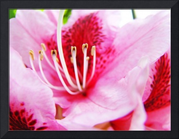 PINK RHODODENDRUMS Flowers Art Prints Flower
