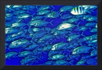 Fish Thousands of Fish