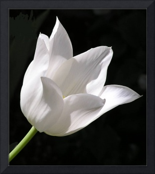 White Tulip, Portrait