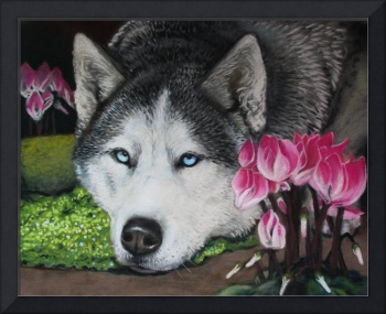 Husky in Pink Cyclamen