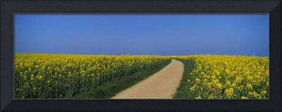 Dirt road running through an oilseed rape field