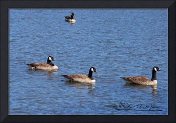 Canadian Geese 20120406_49a