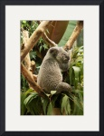 Single Koala by Rich Kaminsky
