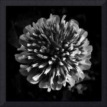 Red Clover In Black And White lV