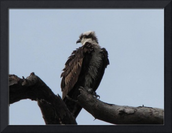Osprey having a bad hair day!