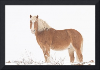 Palomino Horse in the Snow