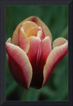 red tulip green back ground