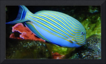 Striped Tropical Parrot Fish