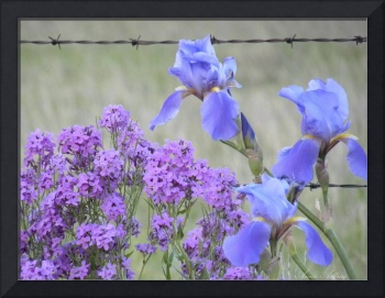 Barbed Wire and Blossoms in NW Oklahoma