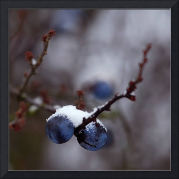 Snowy Sloes