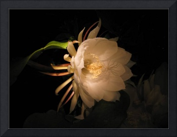 Flower of the night 04