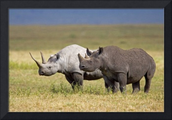 Side profile of two Black rhinoceroses standing i