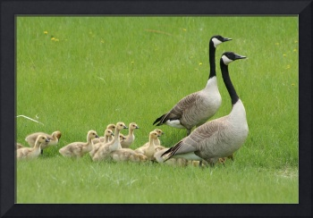 Two Adult Canada Geese and a Gaggle of Goslings