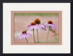 Cone Flowers by D. Brent Walton