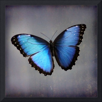 Blue Morpho Butterfly Square