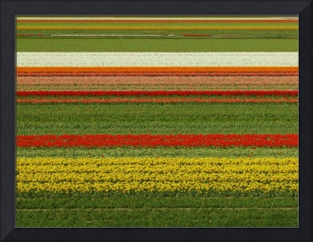 Tulip Field - Straight tulip lines in tulip field
