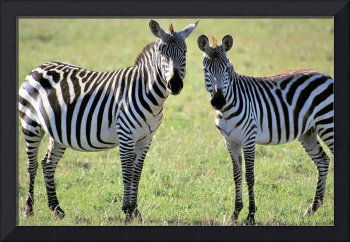 Zebras in Early Morning