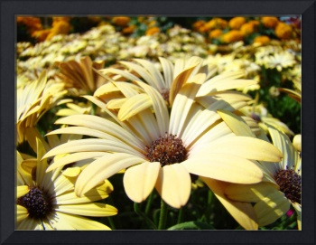 Beautiful Summer Daisies art prints Daisy Flowers