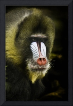 Mandrill Monkey Portrait
