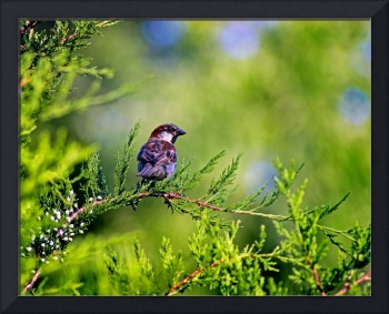 Sparrow In Evergreen Tree