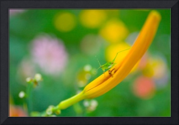 Insect on Daylily