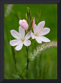 Pale Pink Flowers in the Grass