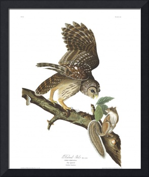 Barred Owl, Plate 46