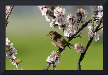 Palm Warbler Bird In A Nanking Cherry Tree, Winnip