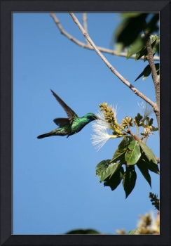 Hummingbird, Pollinating Guaba Tree