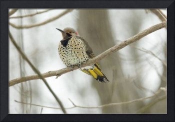Northern Flicker - Yellow-shafted Flicker - Woodpe