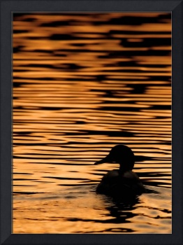 Mallard at Sunset