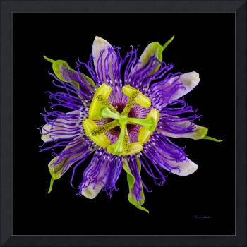 Yellow Green and Violet Passion Flower 50674C